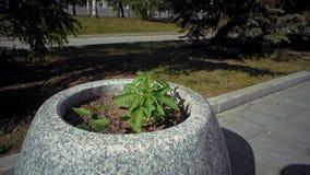 小大麻植物在花床上在城市公园 影视素材