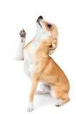 小奇瓦瓦狗的狗 免版税库存照片