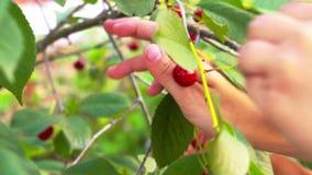 小女孩从树的采摘樱桃 股票视频