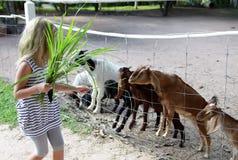 小女孩喂养一只山羊 免版税图库摄影