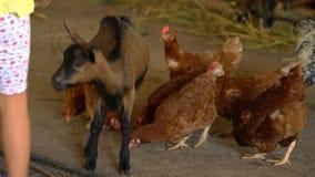 小女孩喂养在农场的一只山羊 影视素材