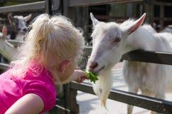 小女孩喂养在农场的山羊 免版税库存图片