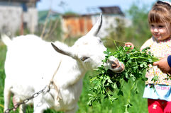 小女孩室外本质上喂养一只白色山羊的 库存图片
