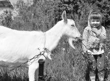 小女孩室外本质上喂养一只白色山羊的 免版税库存照片