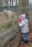 小女孩看一只本国山羊在动物园里 图库摄影