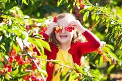 小女孩采摘樱桃在果子庭院里 免版税库存照片