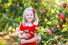 小女孩采摘苹果在果子庭院里 免版税库存照片