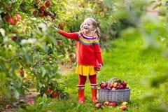 小女孩采摘苹果在果子庭院里 图库摄影