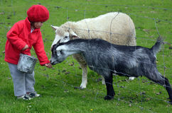 小女孩饲料动物 免版税库存照片