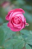 小姐全美秀丽,桃红色在庭院里上升了 库存照片