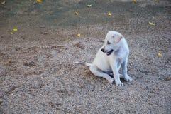 小婴孩白色狗微笑在寺庙的,泰国 库存照片