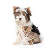 小孟加拉猫和Biewer约克夏狗小狗坐的togther 查出在白色 免版税库存图片
