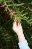 小孩手从灌木的采摘莓果 免版税库存图片
