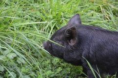 小宠物猪 免版税图库摄影