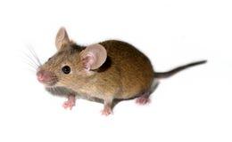 小家养的鼠标 免版税库存照片