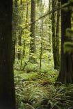 小密集的冷杉深绿色豪华的树苗 图库摄影