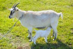 小小山羊吮一个乳房 图库摄影