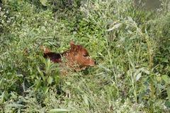 小小牛在森林 库存照片