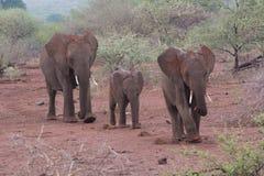 小小牛椰子大象在掌上型计算机词根附近的系列母亲 图库摄影