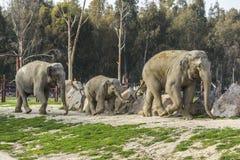 小小牛椰子大象在掌上型计算机词根附近的系列母亲 免版税库存照片