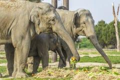 小小牛椰子大象在掌上型计算机词根附近的系列母亲 库存照片