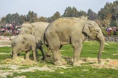 小小牛椰子大象在掌上型计算机词根附近的系列母亲 免版税库存图片
