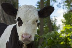 小小牛,黑白颜色 库存图片