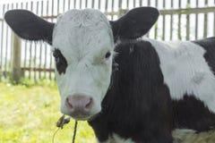 小小牛,黑白颜色 免版税库存照片