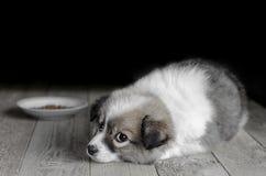 小小狗在食物旁边板材说谎 图库摄影