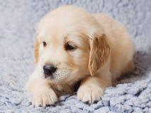 小小狗的猎犬 免版税库存图片