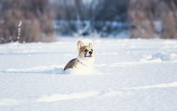 小小狗的红发小狗演奏在白色随风飘飞的雪的乐趣与在冬天公园困住的它的舌头在a 库存图片