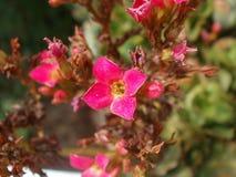 小小的相当桃红色花 库存图片