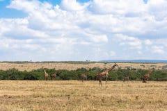 小小组在大草原的马塞人长颈鹿 肯尼亚,非洲 免版税库存照片