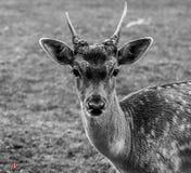 小小鹿 免版税库存图片