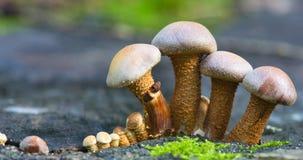 小小组棕色伞菌 免版税库存照片