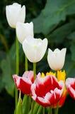 小小组混杂的颜色郁金香 免版税库存照片