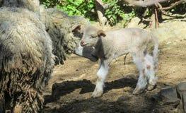 小小绵羊和它的母亲 库存照片