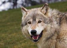 小山凝视北美灰狼 免版税库存图片