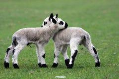 小山凯利羊羔 免版税库存图片
