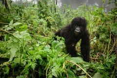 小山地大猩猩在森林里 免版税库存照片