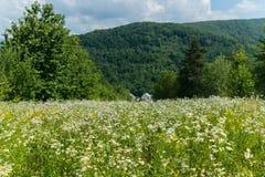 小山密集地种植与白色领域花和房子在一座树木繁茂的山的脚在蓝色清楚下 免版税库存图片