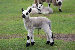 小山新出生凯利的羊羔 图库摄影