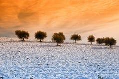 小山查出的橄榄树 免版税库存照片