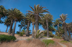小山棕榈树 库存图片