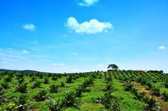 小山油棕榈树种植园 图库摄影