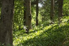 小山的倾斜与杉树的和铃兰 免版税库存图片