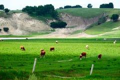 小山的母牛脚 库存照片