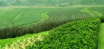 小山的茶农场 免版税图库摄影
