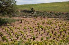 小山的葡萄园 免版税库存照片