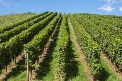 小山的葡萄园 免版税库存图片